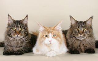 Кошки Мейн Кун — интересные факты