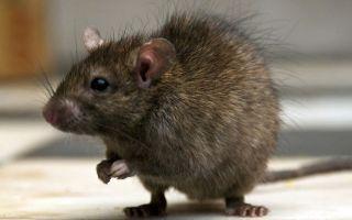 Крысы — интересные факты