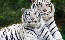 Интересно о тиграх
