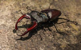 Интересные факты о жуке-олене