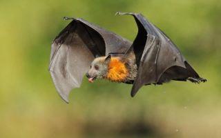 Летучие мыши — интересные факты