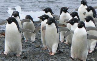 Пингвины Адели — интересные факты