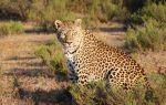 Леопарды — интересные факты