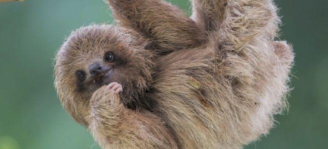 Ленивцы — интересные факты