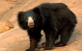 Медведь-губач — интересные факты