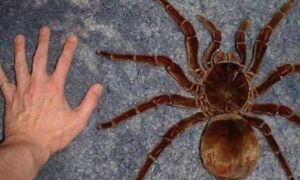 Интересно о тарантуле