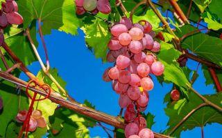 Виноград — интересные факты