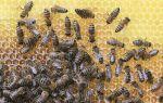 Мёд — интересные факты