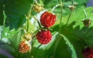 Лесные ягоды — интересные факты