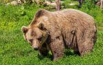 Бурый медведь — интересные факты