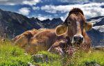 Коровы — интересные факты