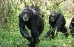 Шимпанзе — интересные факты
