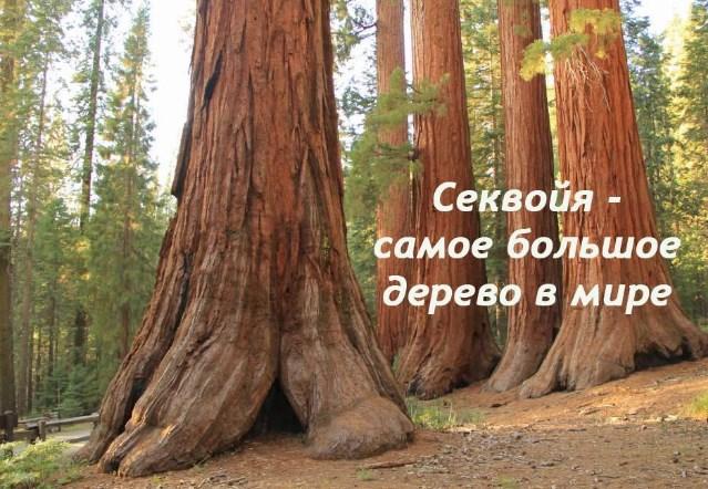 Лес из секвойи